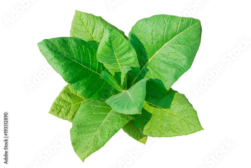 Tobacco plant on white background. - 193512890