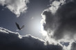 Eagle in dramatic clouds