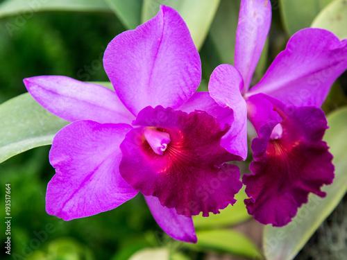 Fototapeta Purple Orchids