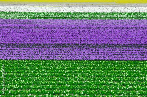 Foto op Plexiglas Groene Campo de tulipas na Holanda