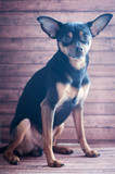 Puppy, dog, toy terrier on a natural background looks at the camera. Very cute puppy