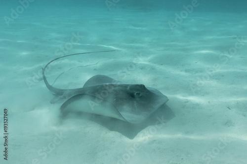 Fotobehang Dolfijn sting ray underwater while scuba diving in Tahiti