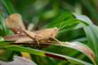 Image of Slender Gumleaf Grasshopper (Goniaea vocans) on green leaf. Insect. Animal.