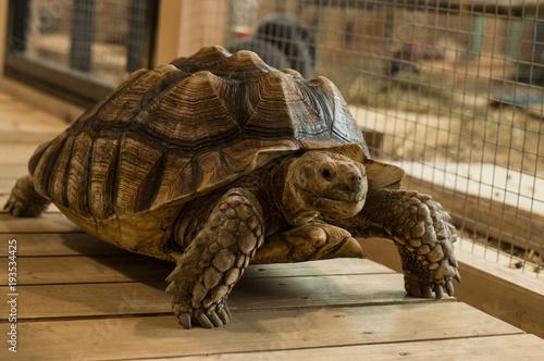 Aluminium Schildpad Big turtle walking in the zoo