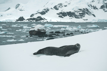 Seal on the Ice - Antarctica