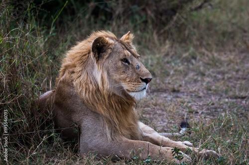 Fotobehang Lion Löwe in der Wildnis von Tansania