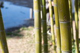 Bamboo stalk closeup with pool in background. Shallow focus.