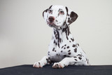 the Dalmatian dog rests his paws on the table a little. young cute dog. looking away