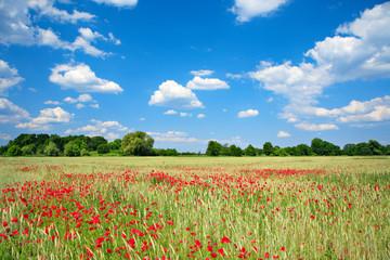 Sommerlandschaft, Gerstenfeld voller Mohnblumen, blauer Himmel mit Wolken, ökologische Landwirtschaft