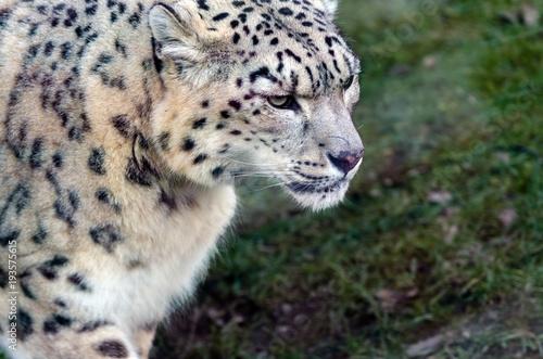 Fotobehang Panter Snow Leopard