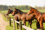 Group of brown horses on enclosure at the meadow pasture, standing side by side. - 193581626