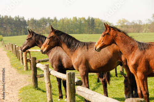 Group of brown horses on enclosure at the meadow pasture, standing side by side.