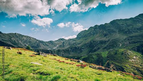 rododendron w rozkwicie w Alpach