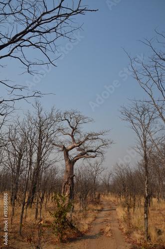 Fotobehang Baobab The African landscape. Zambia