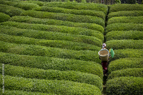 Foto op Aluminium Groene Tea picker young girl tea garden Rize Turkey East Blacksea