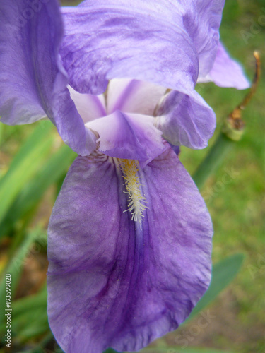 Fotobehang Iris Admire the beauty of the flowers, in all their splendor gardens, roses, orchids, violets, daisies, petals and green a rainbow of colors gift of nature.