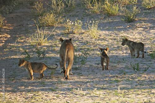 Plexiglas Kangoeroe Kalahari Lion, Panthera leo, Kgalagadi Transfrontier Park, Kalahari desert, South Africa
