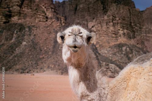 Aluminium Kameel Camel on a desert in Jordan national park - Wadi Rum desert. Travel photoshoot. Natural background