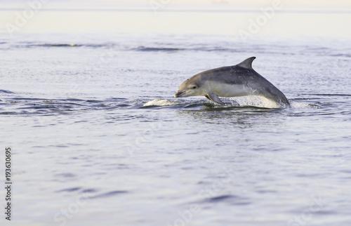 Fotobehang Dolfijn Wild bottlenose dolphin tursiops truncatus