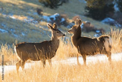 Winter Mule Deer Poster