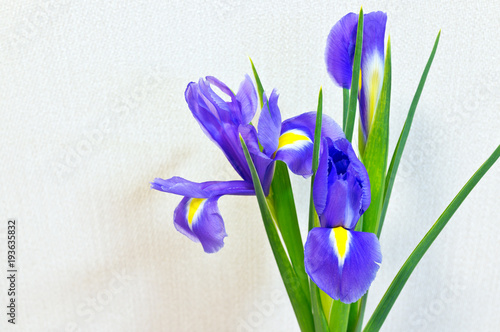 Fotobehang Iris Delicate violet petals of bright spring flowers of garden irises. Floral background. Empty place for text