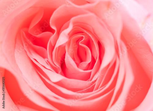 Różowa róża kwiat tekstury