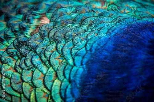 Aluminium Pauw Close-up of peacock feathers