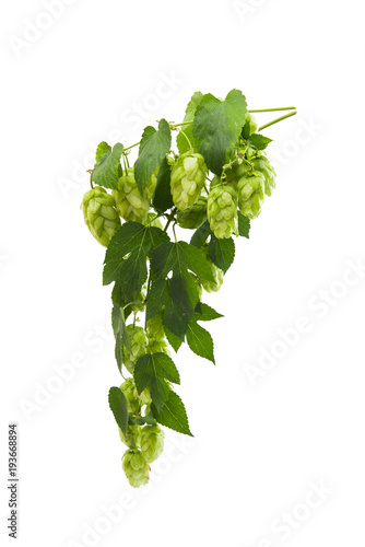 liana hops with cones isolated