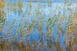 Reed in a lake in summer - 193675025