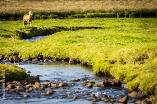 Fotobehang Pistache Iceland, green landscape and wild horse. Europe