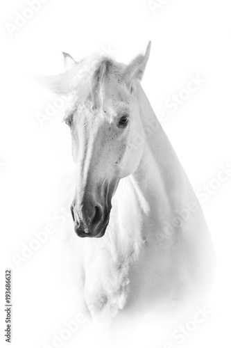 White horse close up portrait on white background