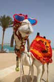 Funny camel with sunglasses dressed in costume entertaing tourists - 193691650
