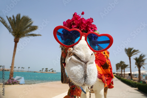 Fototapeta Camel with heart shaped sunglasses dressed in funny costume