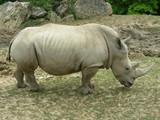 Rhinocéros - 193692471