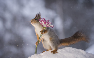 red squirrel holding a carnation in snow