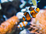 Orange clown fish with corals on aquarium in oceanarium