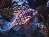 Striped lion zebra fish on the lisbon oceanarium