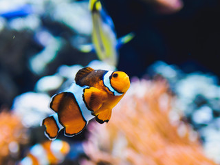 Orange clown fish with corals on aquarium in oceanarium