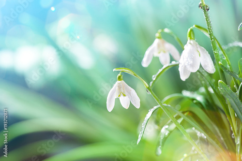 Fototapeta First Spring Snowdrops Flowers with Water Drops in Gadern