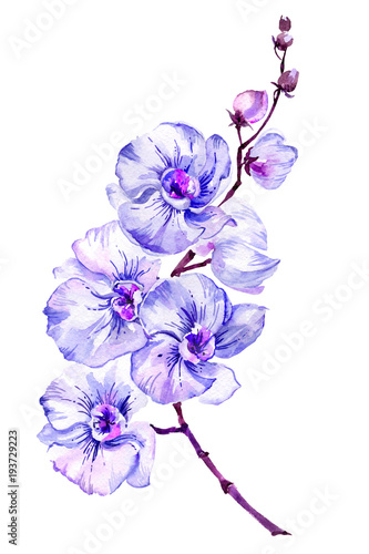 Blue moth orchid (Phalaenopsis) flower on a twig.  Isolated on white background.  Watercolor painting.