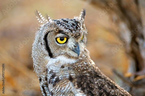 Portrait of a spotted eagle-owl (Bubo africanus), Kalahari desert, South Africa Poster
