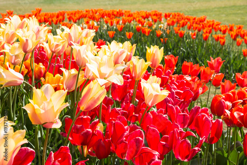 Fotobehang Rood Yellow, Red, and Orange Tulips arranged with a Curved Edge in Garden. Detail.
