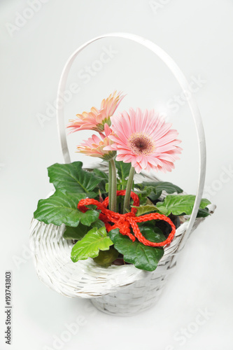 Fotobehang Gerbera White, decorative wicker basket with three gerberas, with red decoration