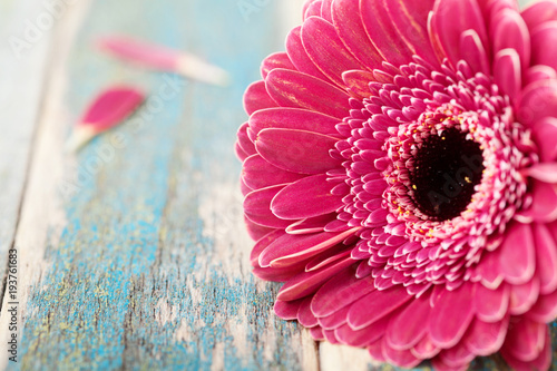 Fotobehang Gerbera Single gerbera daisy flower closeup on vintage wooden background. Greeting card on mother or womans day. .