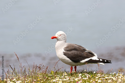 Papiers peints Antarctique Dolphin Gull or Red-billed Gull standing in wild flower field. Ushuaia, chile, South America