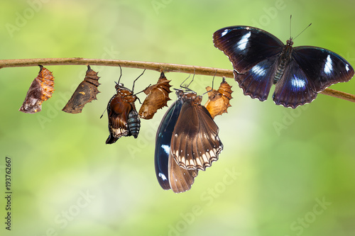 Transformation of male from caterpillar to great eggfly butterfly ( Hypolimnas bolina Linnaeus ) on twig
