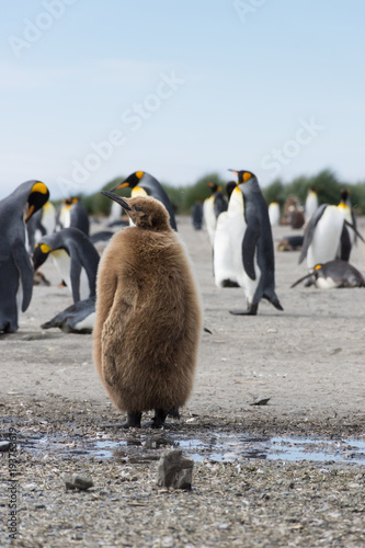 Aluminium Pinguin A Stout Juvenile King Penguin or Oakum Boy with its brown downy feathers. Adult king penguins are in the background.