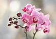 Storczyki rózowe