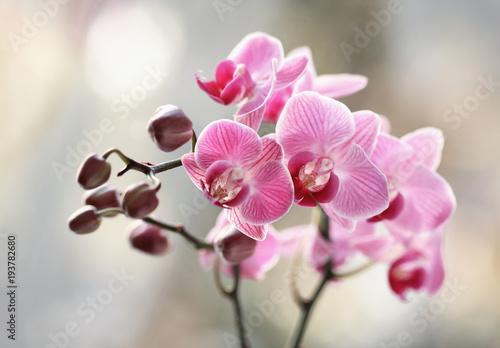 Fototapety, obrazy : Storczyki rózowe