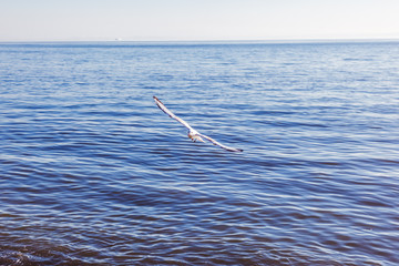 beautiful white gull flies by the sea